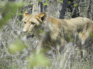 safarii