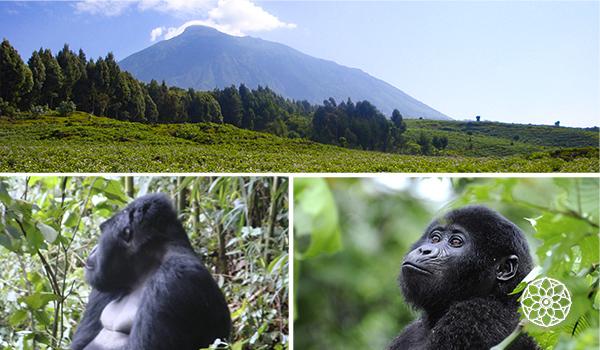 Ruanda - um gorila me seguiu, durante uma viagem à África.
