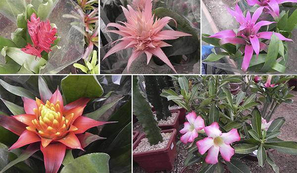 Holambra - flores