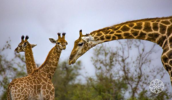 Girafas na África