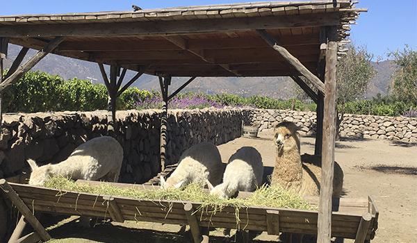 Vinícola no Chile, qual visitar? Sugestão de três experiências incríveis